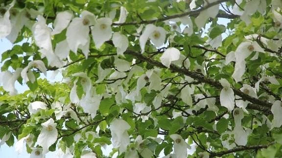 Weiße Blüten des Taschentuchbaums.