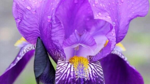 Lila Blüte einer Schwertlilie (Iris)