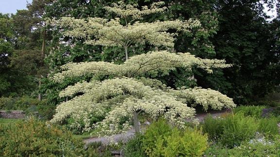 Baum mit beigefarbenen Blüten und Blättern