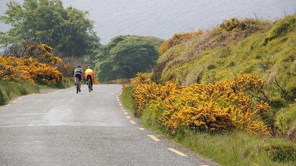 Zwei Radfahrer fahren eine Straße entlang. Rechts und links der Straße wachsen Büsche mit gelben Blüten.