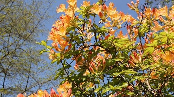 Schöne orangefarbene Blüten an einem Strauch.