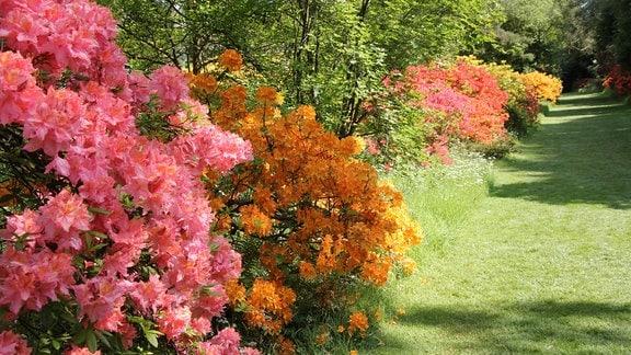 Entlang einer gemähten Wiese wachsen Sträucher mit imposanten rosaroten und orangenen Blüten.