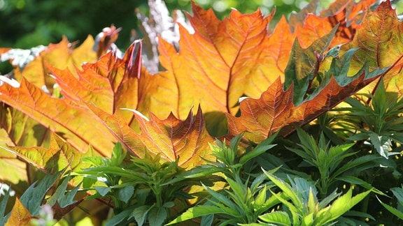 Gelb-rot gefärbtes Laub einer Pflanze