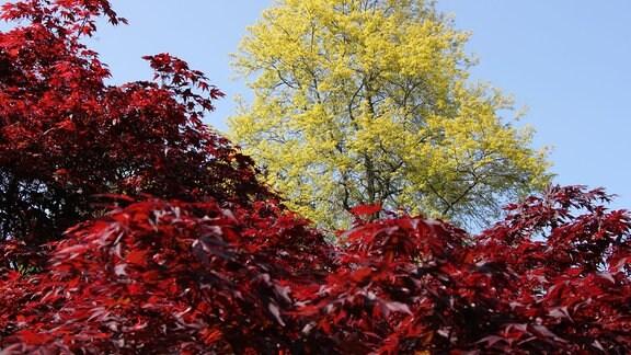 Ein hoher Baum hinter einem Strauch mit rotem Laub.