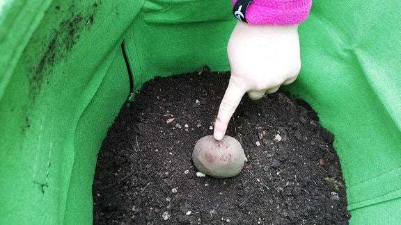 Kartoffel kommt in die Erde