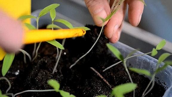Jungpflanze mit langem Stiel.