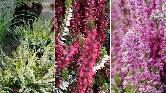 MDR Garten: Knospenheide, Besenheide, Glockenheide