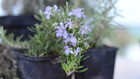 Rosmarinzweig mit Blauen Blüten wächst in einem Blumentopf