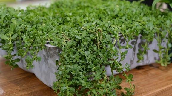 Die Pflanze Brahmi wächst überhängend in einer breiten Blumenschale