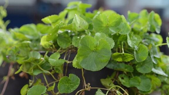 Gotu Kola: Pflanze in einem Blumentopf