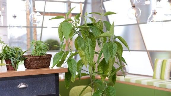 Große Pflanze im Kübel: Indisches Lungenkraut