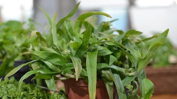 Das Kraut Murdannia wächst in einem Blumentopf