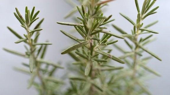 Rosmarinpflanze in einem Topf