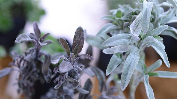 Salbeipflanzen in einem Topf