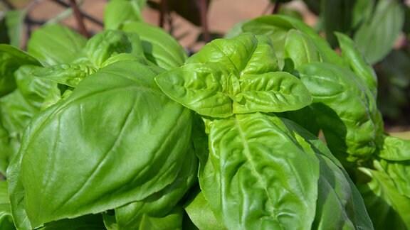 Blätter von Basilikum.