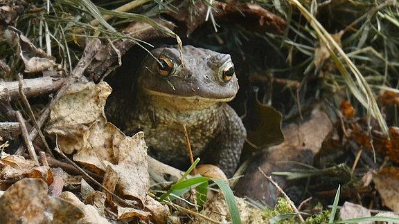 Eine Kröte versteckt sich im Unterholz