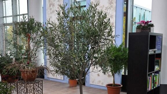 Ein Baum steht in einem Kübel in einem Raum. Im Hintergrund sind weitere Kübelpflanzen zu erkennen.