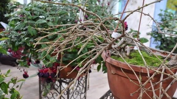 Nahaufnahme einer Pflanze ohne Blüten und Blätter. Im Hintergrund ist eine zweite Pflanze mit grünen Blättern und pinken sowie lilafarbenen Blüten zu erkennen.