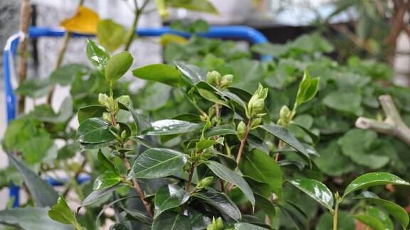 Grüne Blätter an Zweigen mit Trieben.