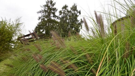 Gras mit einer auffallenden Blüte, die wie eine Flaschenbürste aussieht.