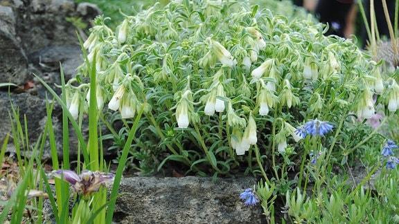 Weiß blühender Lotwurz wächst in einem Steingarten