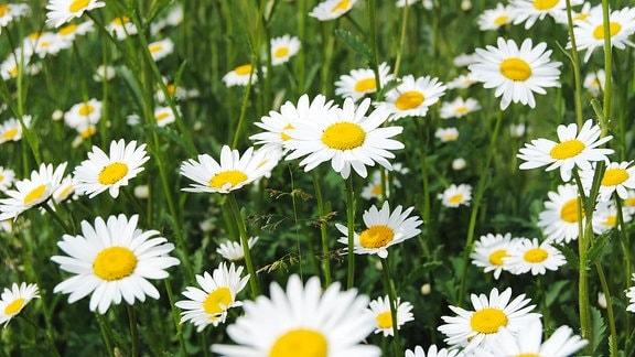 Viele weiße Margeritenblüten.