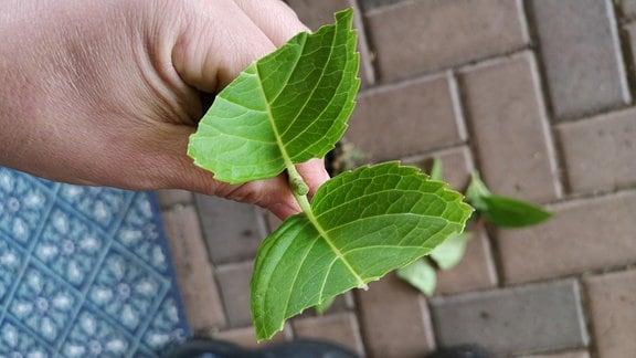 Die oberen Blätter an einem Steckling wurden zur Hälfte entfernt