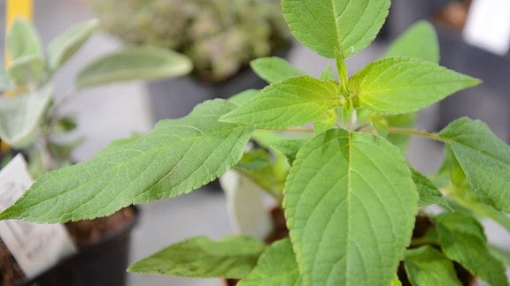 Hellgrüne Blätter des Ananassalbeis.