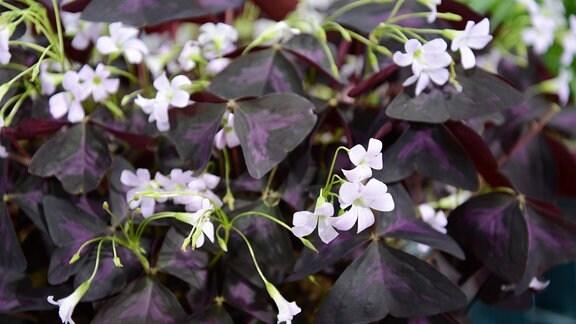 Brasilianischer Sauerklee - Dunkellila Blätter und weiße Blüten des Sauerklees
