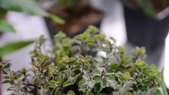 Oreganopflanze in einem Blumentopf