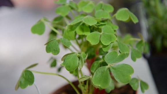 Sauerklee-Pflanze mit hellgrünen Blättern in einem Blumentopf