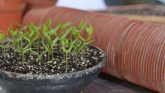 In einer Blumenschale sind die ersten Pflanzen aufgegangen.