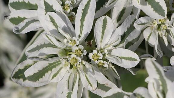 Grün-weiße Blätter einer Pflanze