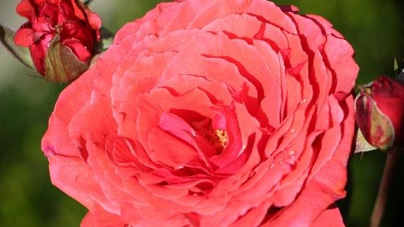 Rosa Blüte einer Duftrose