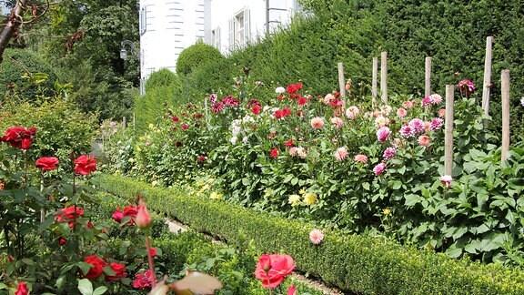 Blick in einen Rosengarten mit Buchs-Hecke