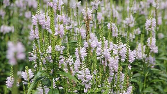 Blüten des Gartensalbei
