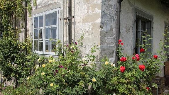 Rosen vor einem alten Steinhaus