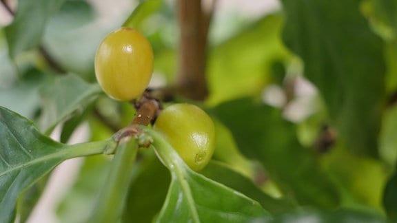 Gelbe Kaffee-Kirschen an einer Pflanze.