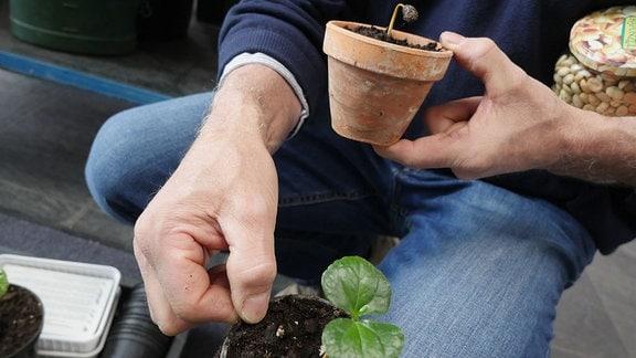 Eine Hand hält einen Blumentopf mit einer Kaffee-Jungpflanze