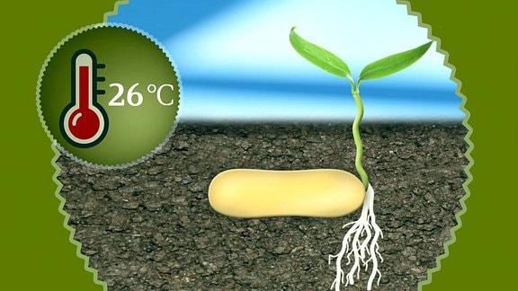 Grafik - Keimung eines Samens