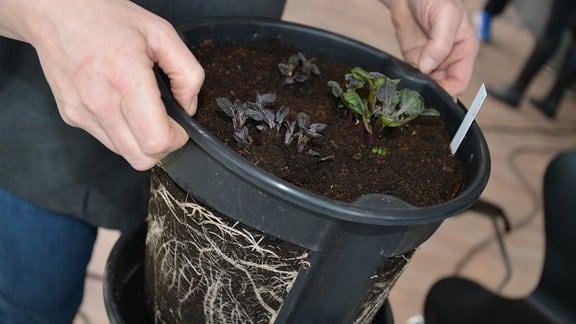 Ein Topf mit großen Löchern an der Seite wird in einen anderen Topf gehoben. Im Topf wachsen kleine Pflanzen, durch die Löcher im Topf sind Erde und Wurzeln sichtbar.