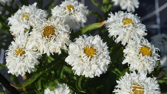 Besondere weiße Margeritenblüten. Die weißen Blütenblätter sind gekräuselt und buschig.