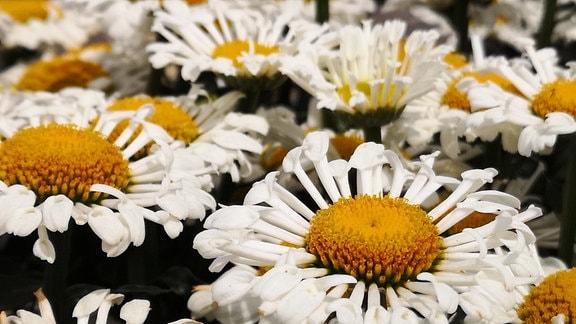 Weiße Margerite mit gelbem Knopf und weißen Blütenblättern. Die Blätter haben eine Kelchform.