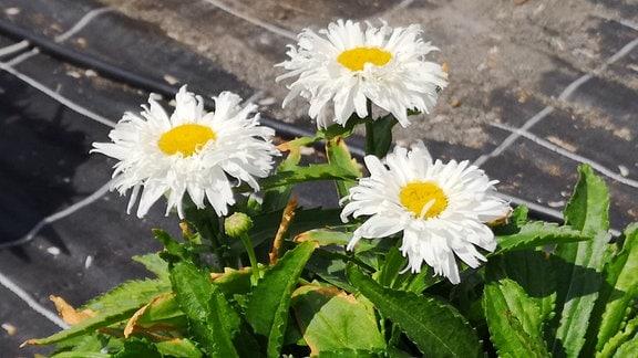 Weiße Margerite mit gekräuselten, weißen Blütenblättern.