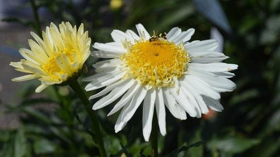 Weiße Margerite mit besonderen gelben Röhrenblättern in der Blütenmitte. Der äußere Rand ist gekräuselt.