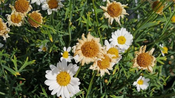 Klassische Margerite in einem Topf. Viele Blüten sind schon welk.
