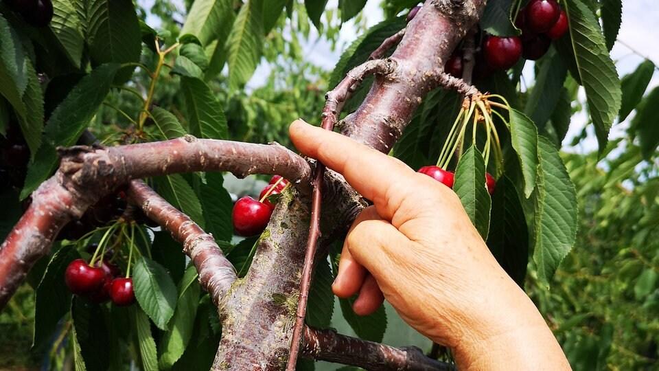 Hervorragend Baumschnitt: So wird die Süßkirsche zurückgeschnitten | MDR.DE YK78