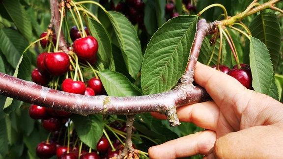 Eine Hand zeigt an einem Kirschbaum, wo dieser zurückgeschnitten werden soll.