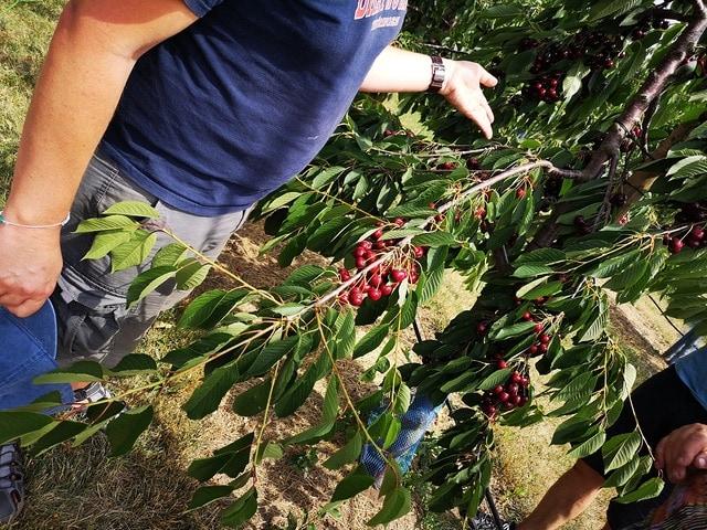 Hervorragend Baumschnitt: So wird die Süßkirsche zurückgeschnitten | MDR.DE BJ63