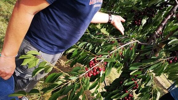 Schwere hängende Äste eines Süßkirschenbaums mit vielen Kirschen.